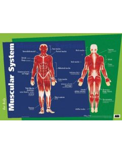 Poster Our Body Muscular System